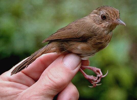 Burung pelanduk tickelli