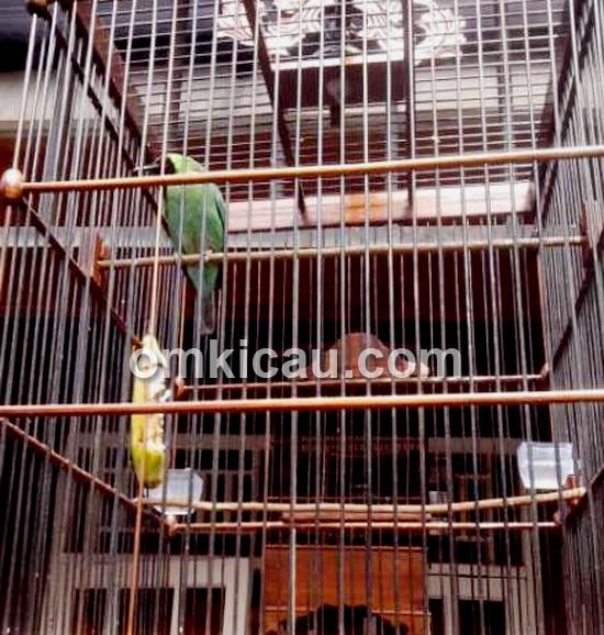 Terapi burung gacor saat dikerodong