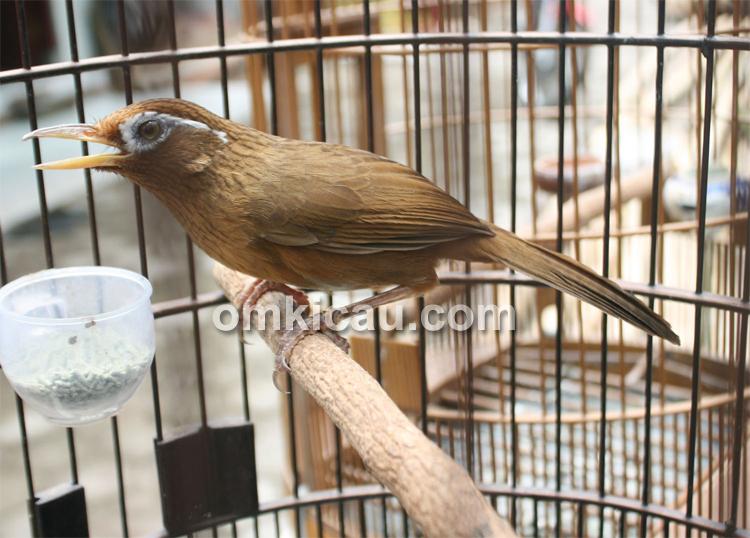 Burung hwamei