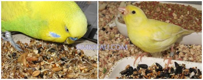 Banyak manfaat yang dihasilkan jika burung diberikan makanan biji bekecambah secara rutin