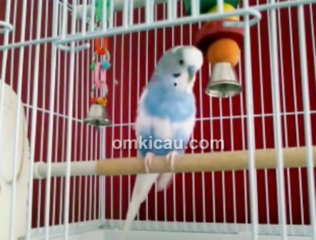 kumpulan beberapa variasi suara burung parkit klub burung