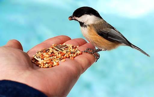 Burung sehat tergantung pakan yang diberikan