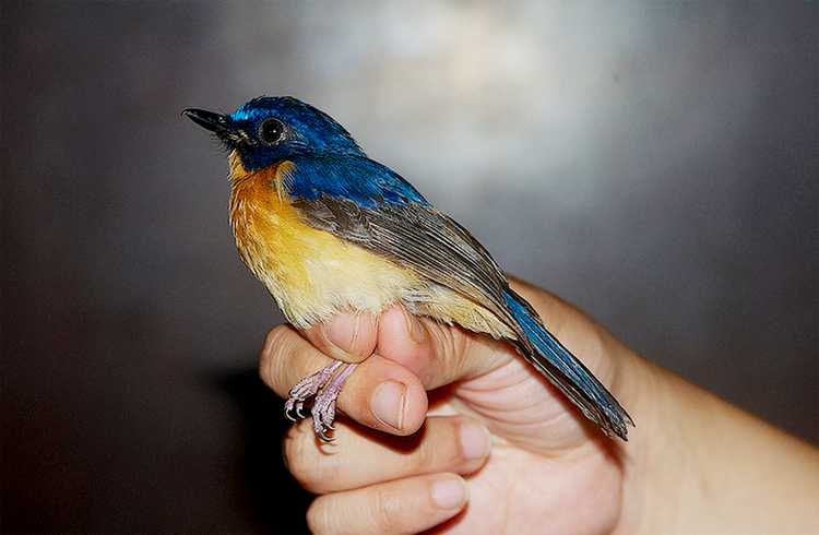 Audio kicauan burung sikatan sunda