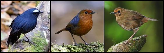 Burung cingcoang jantan (kiri) dan beberapa burung betina yang berbeda tergantung daerah penyebarannya