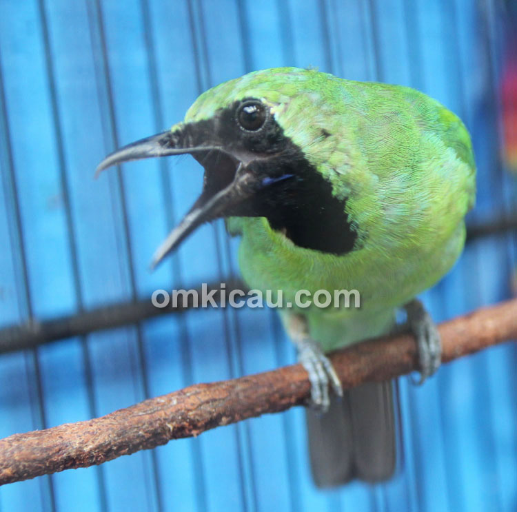 Cucak hijau Arjuna