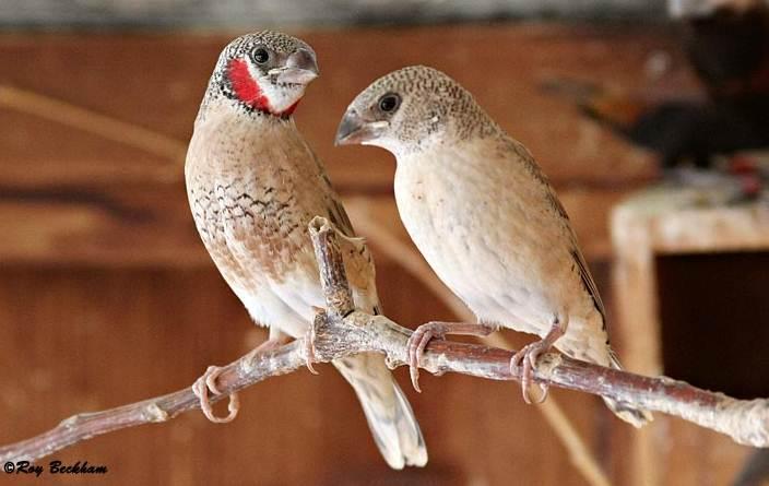 Sepasang Cut throat finch, tampak jantan (kiri) dengan ciri warna merah dibanding betina berwarna polos.
