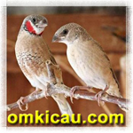feat burung cut-throat finch