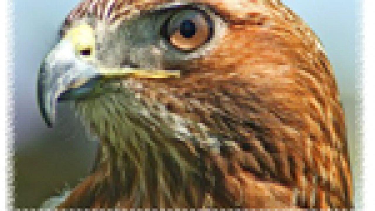 770 Koleksi Gambar Burung Elang Lengkap HD Terbaru