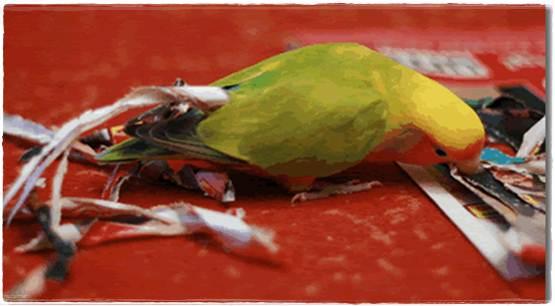 Indukan betina akan merobek kertas dan menyapitnya dengan sayapnya sebagai tanda siap bertelur