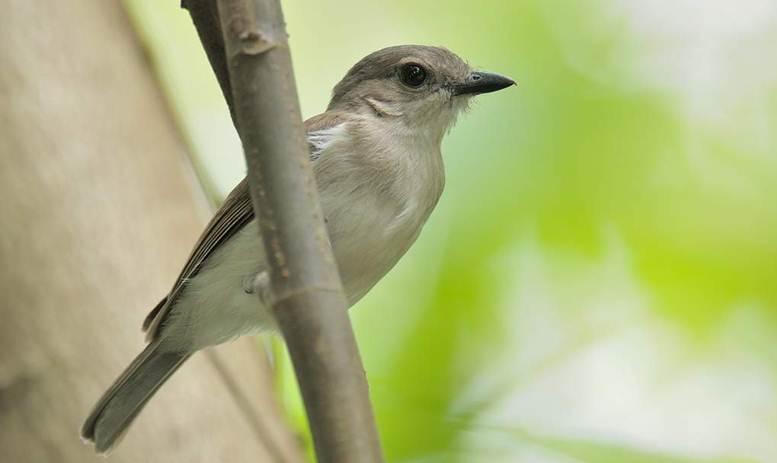 Kemiripan burung kancilan bakau 48f52a47fa