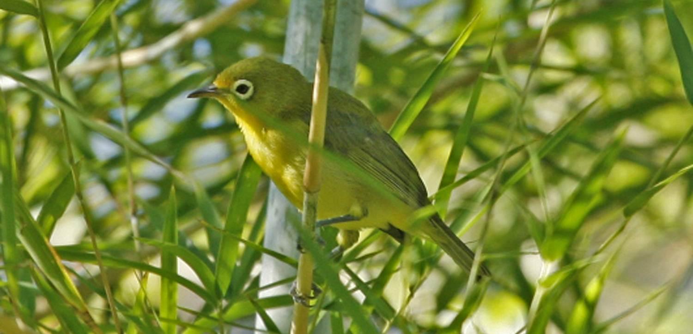 Kecial lombok termasuk burung pleci kacamata asli atau endemik dari lombok