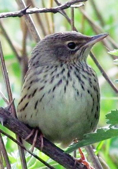 Burung kecici lurik