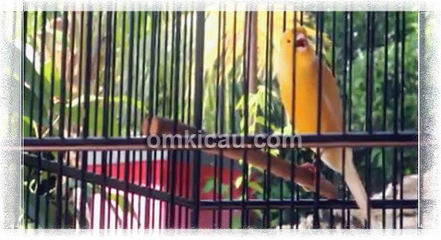 Video Kenari Raja Melodi