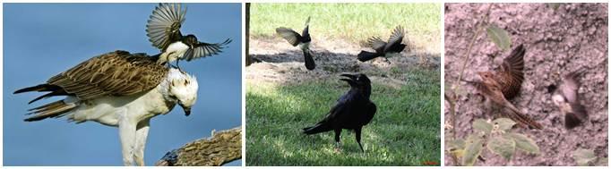 dari kiri kekanan kipasan kebun yang sedang mengusir elang, gagak dan kedasih