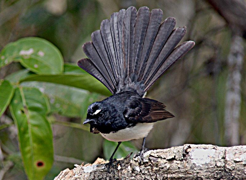 Hasil gambar untuk burung kipasan kebun