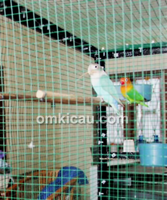 Koleksi lovebird Hervi Papua