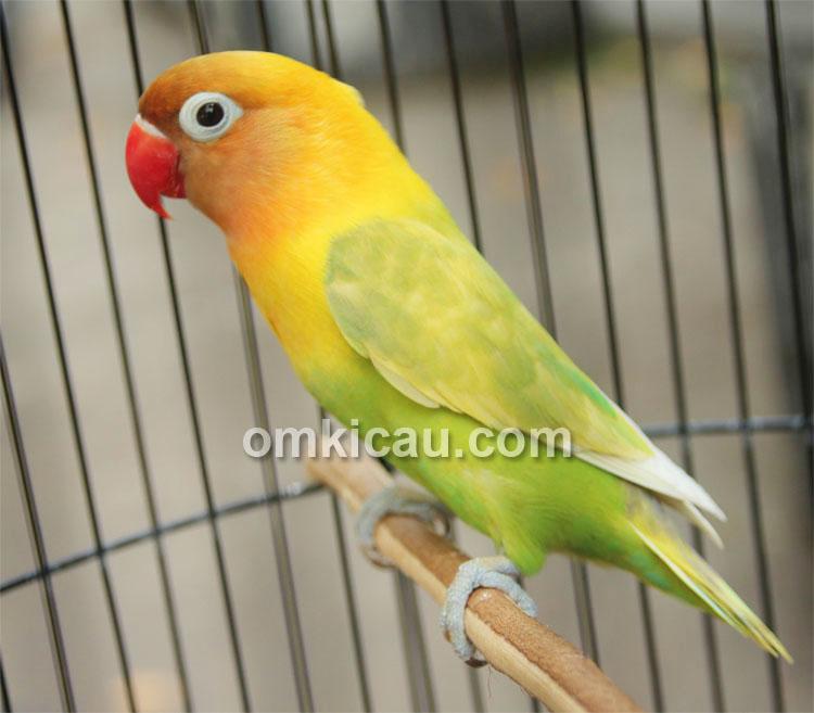 Lovebird Semeru
