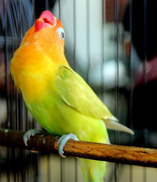 Lovebird Liontin