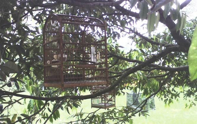 Menggantung pleci didahan pohon semenjak pagi hari (pengembunan) mempercepat proses buka paruh mereka