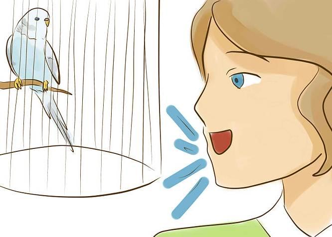 Melakukan latihan secara rutin dan tanpa mengubah nada suara bisa mempercepat burung mengikuti apa yang diajarkan