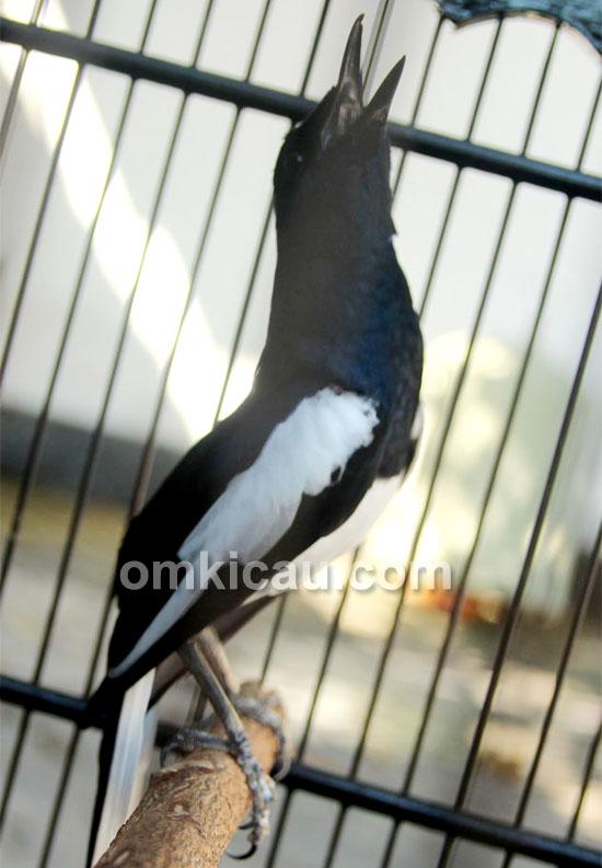 Kacer Ningrat milik Mr Chandra Pontianak