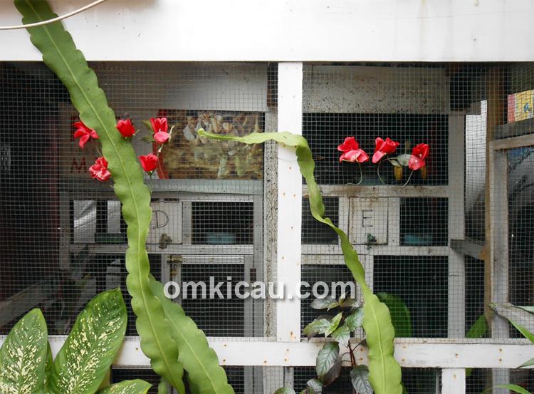 Kandang breeding cucakrowo
