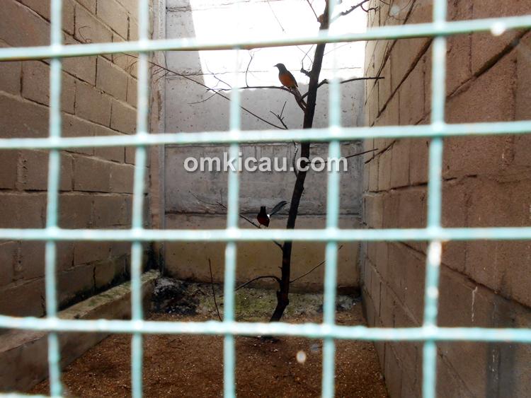 Kandang penangkaran murai batu Agus Arizon BF Jambi