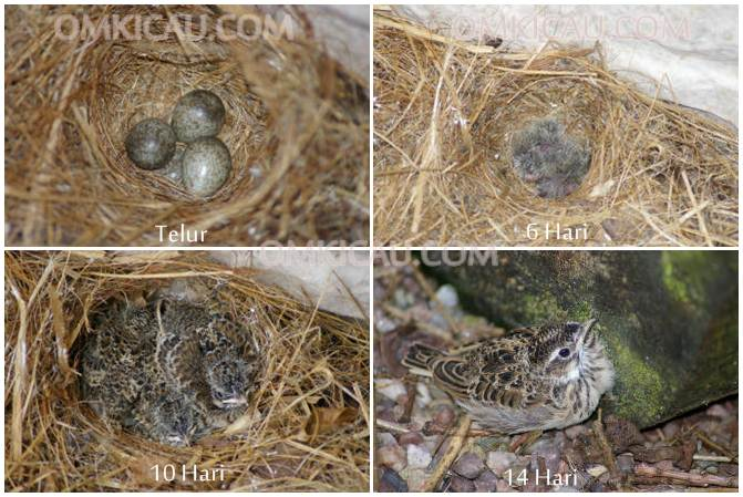 Perkembangan telur hingga anakan skylarks