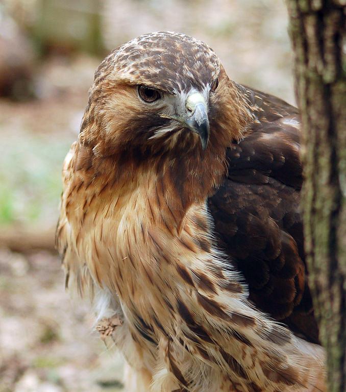 Burung elang ekor-merah