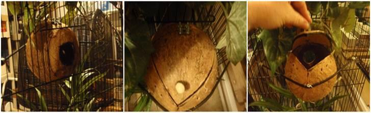 Sarang dari batok kelapa yang dimodifikasi untuk memudahkan pemantauan