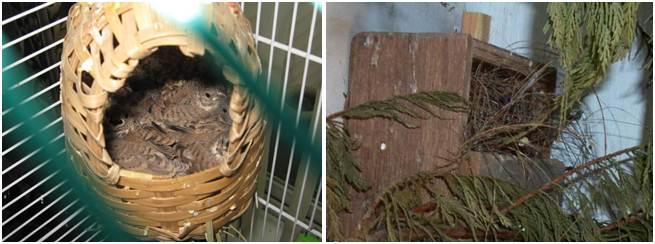 Tempat sarang yang umum digunakan dalam menangkarkan burung CT finch