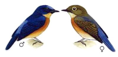 Sexing burung sikatan sunda