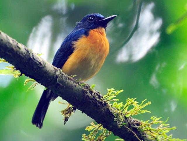 Burung sikatan sunda