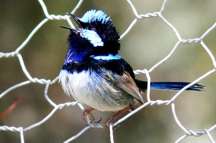 Burung cikrakperi