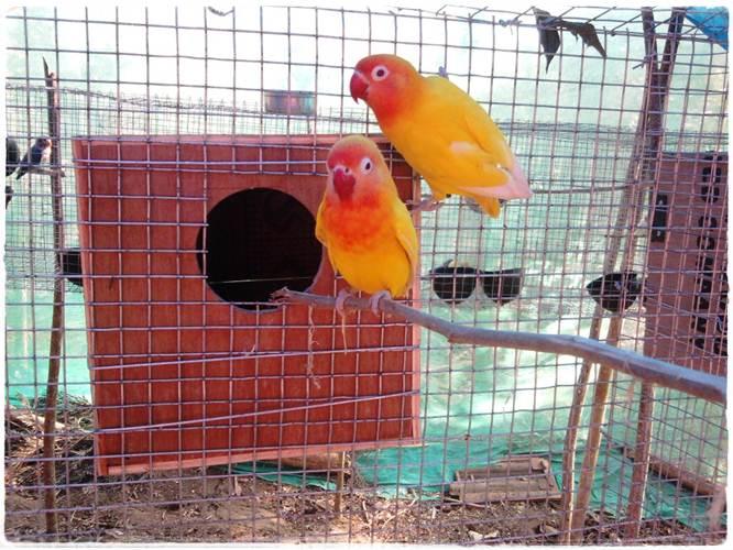 Tips Membuat lovebird cepat bertelur