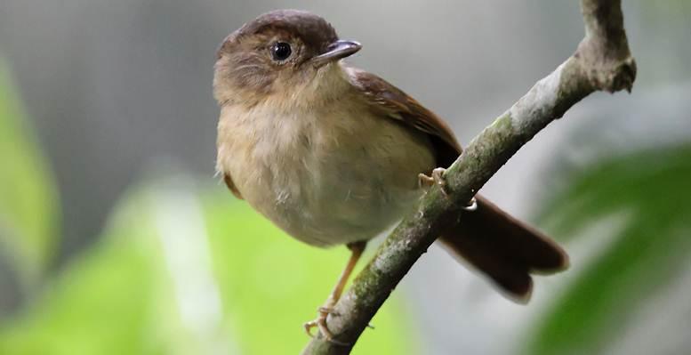 Burung wergan jawa (Alcippe pyrrhoptera) 8affbc6d27