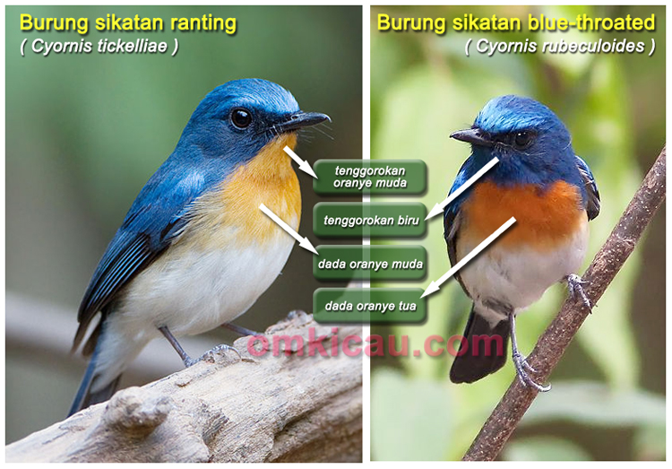 Sikatan ranting dan sikatan blue-throated