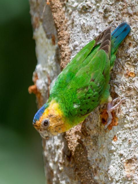 Burung nurikate