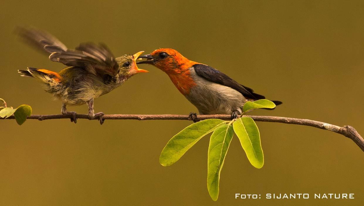 Burung cabe-cabean atau burung kemade