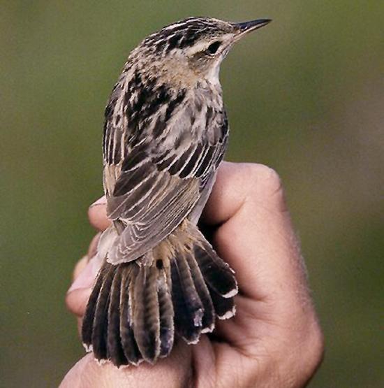 Burung kecici belalang