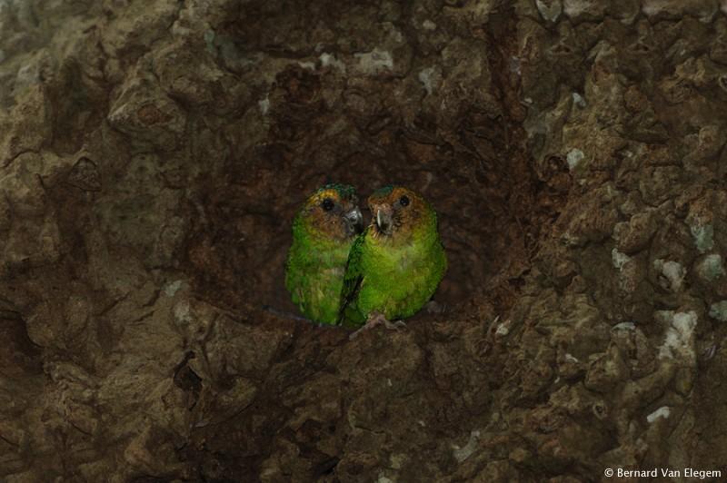Burung nuri kerdil ( Pygmy parrot ) yang bersarang dalam sebuah sarang rayap