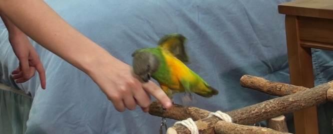 Burung parrot yang suka menggigit harus ditangani dengan perlakuan khusus