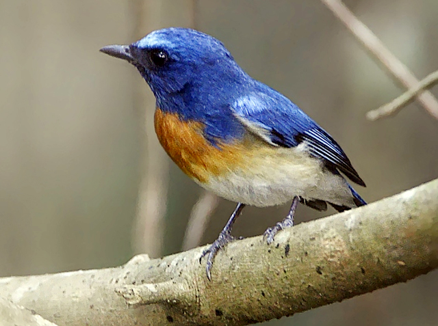 Burung sikatan blue-throated