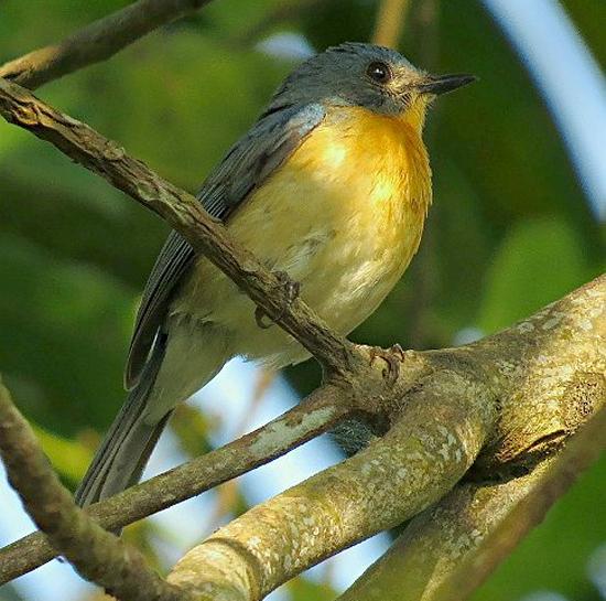 Burung sikatan ranting betina