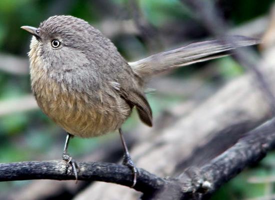 Audio dan video burung wrentit
