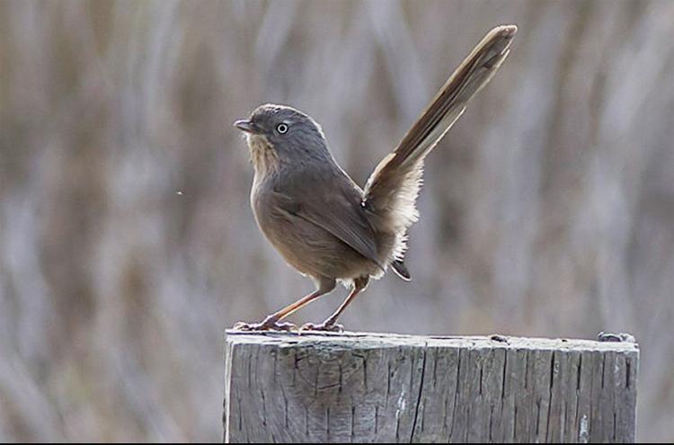 Burung wrentit