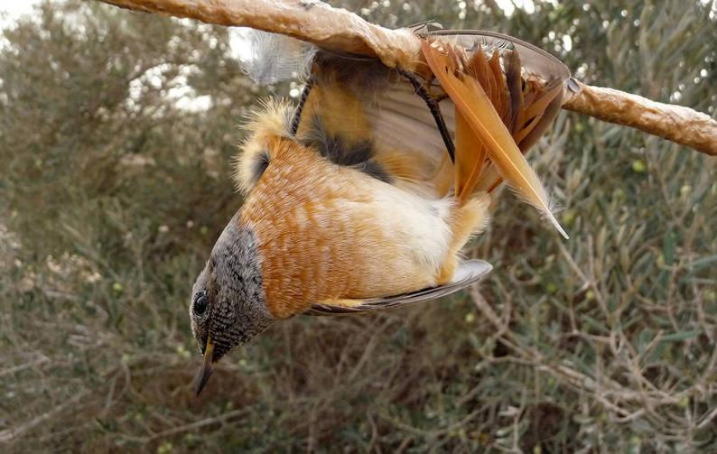 Burung mungil yang terjerat getah lem ini kemudian akan menjadi hidangan untuk para turis dan penduduk sekitar