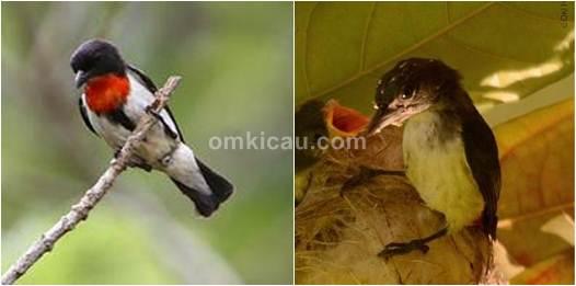Burung cabai lombok