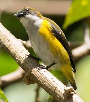 Burung cabai panggul-kuning