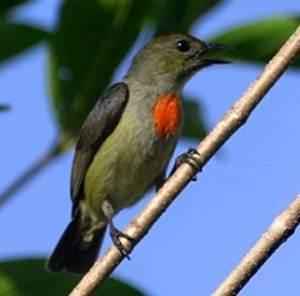 Burung cabai papua